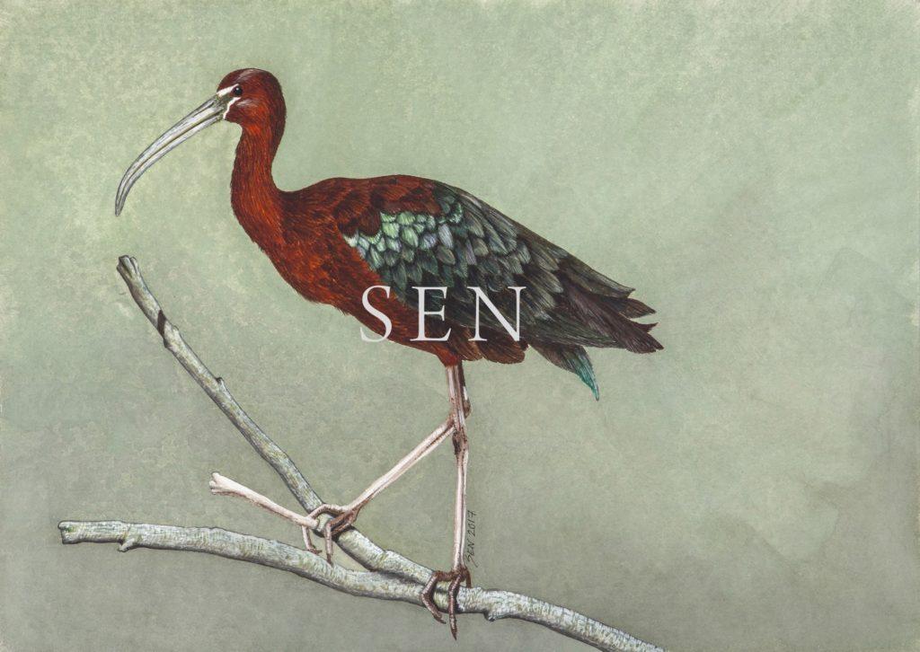 glossy ibis 2017